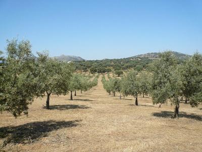 Finca de olivar 80 Ha