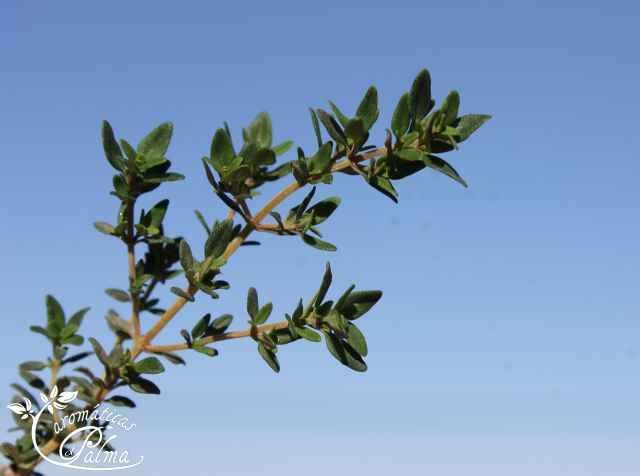tomilho limão - Thymus x citriodorus
