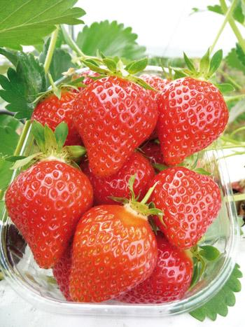 PLANTS DE FRAISIERS - Favori