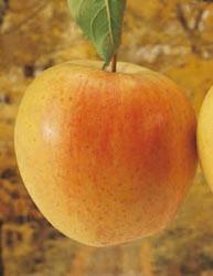 Mela Golden Delicious Val di Non - Matura verso la fine di settembre