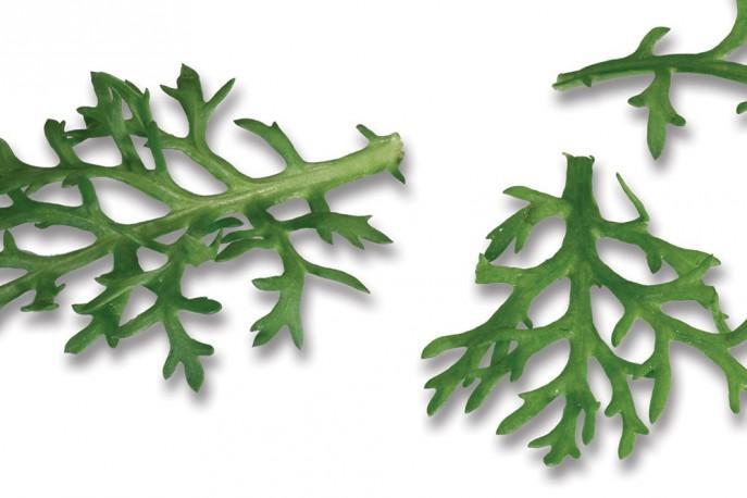 Kikuna Leaves - Micro végétaux