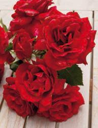 """Rosai rampicanti a fiore piccolo - Olav Rosso """"Fioritura Continua"""""""
