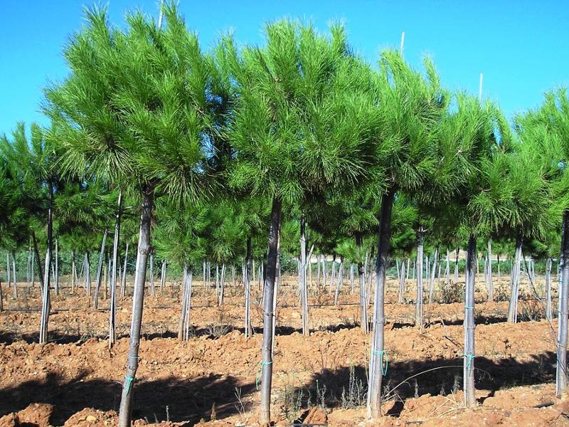 Pinus pinea - null