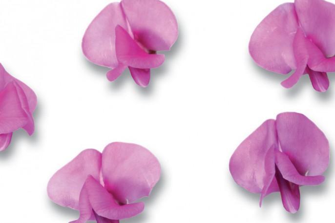 Bean Blossom - Micro végétaux
