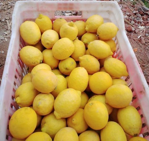 Египетский лимон - Далия и ячмень