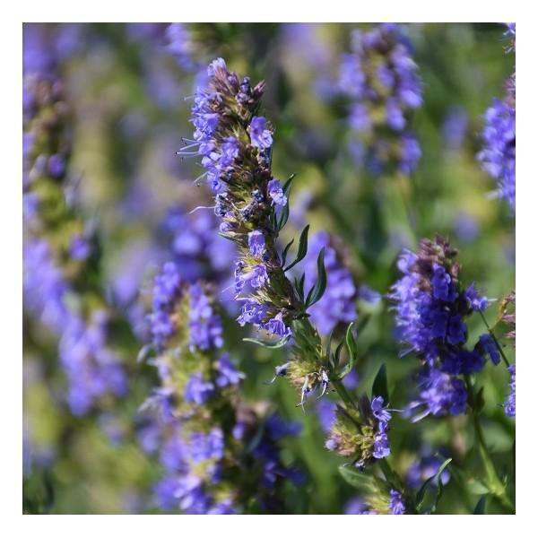 Eau florale d'Hysope biologique - Eaux florales