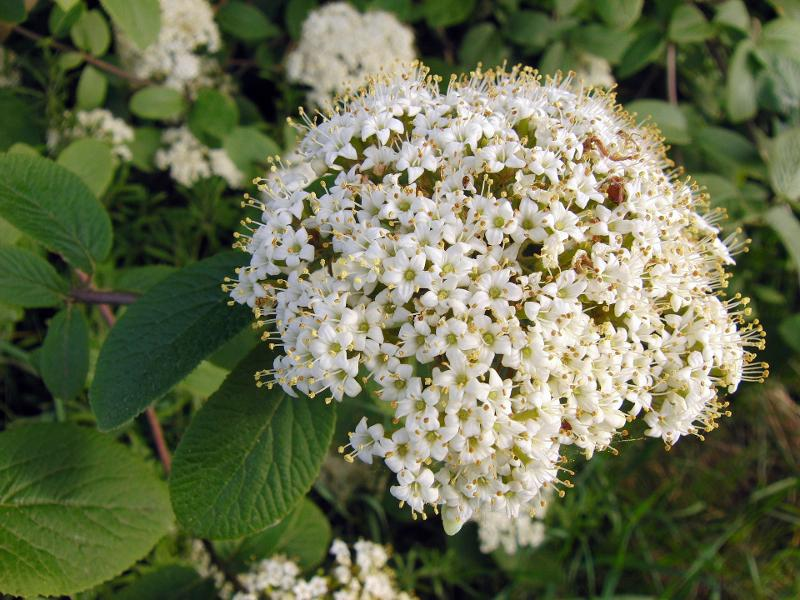 Medicinal plants - Hawthorn (crataegus)