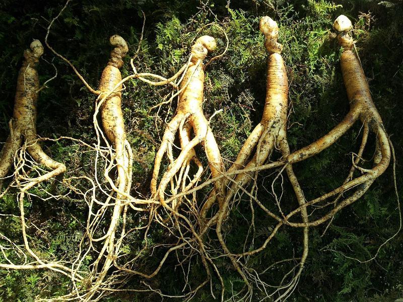 Medicinal plants - Ginseng root (radix ginseng)