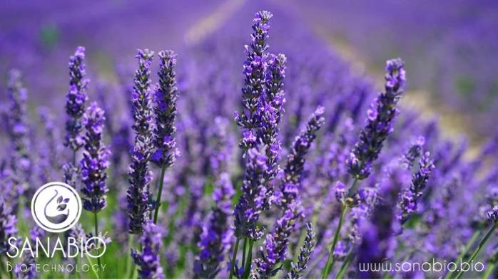 Organic Lavender Oil - Essential oil for food and cosmetics (INCI: LAVANDULA ANGUSTIFOLIA OIL)