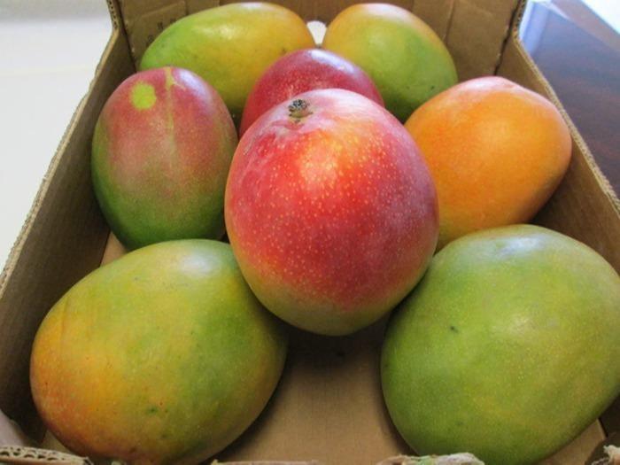 fresh mango - mango variety kent