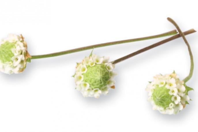 PLANTE COMESTIBLE RUNGIS - Dushi® Button