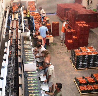Calibreuses pour Abricot, Prune, Kiwi - 1 700 kg / heure