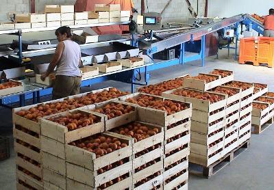Calibreuses pour Abricot, Prune, Kiwi - 1 200 et 2 000 kg / heure