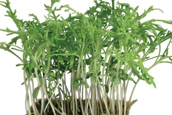 Kikuna Cress - Micro végétaux
