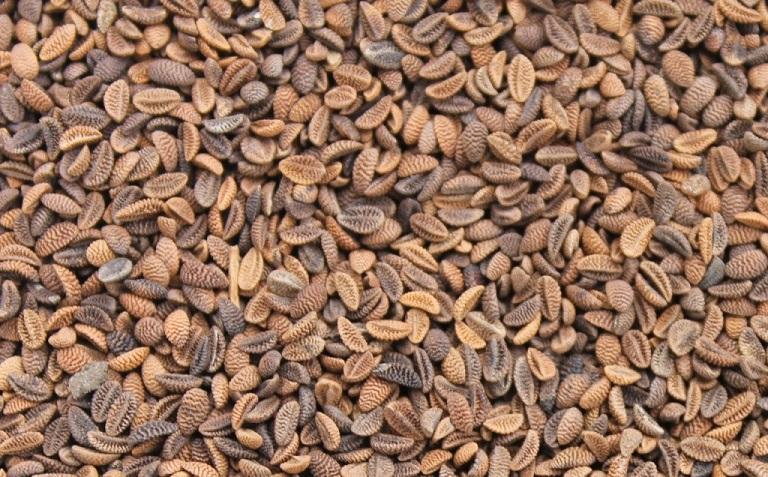 Фацелия - Семена фацелии