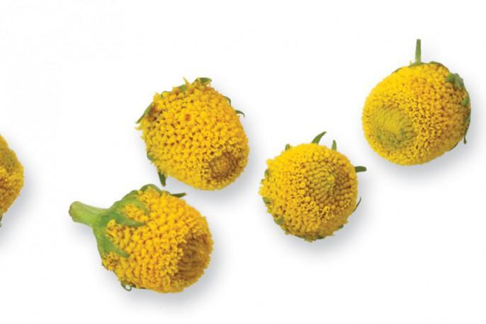 Sechuan Button - Micro végétaux