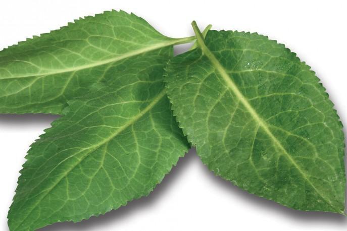 Cressabi leaves