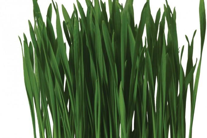 Wheat Grass - Micro végétaux