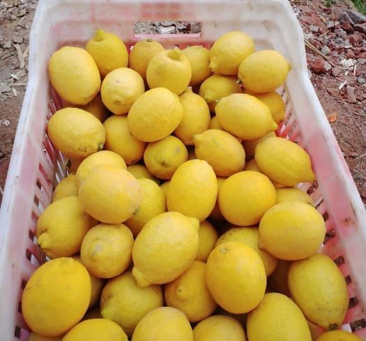 Limone egiziano - Dhalia & Barley