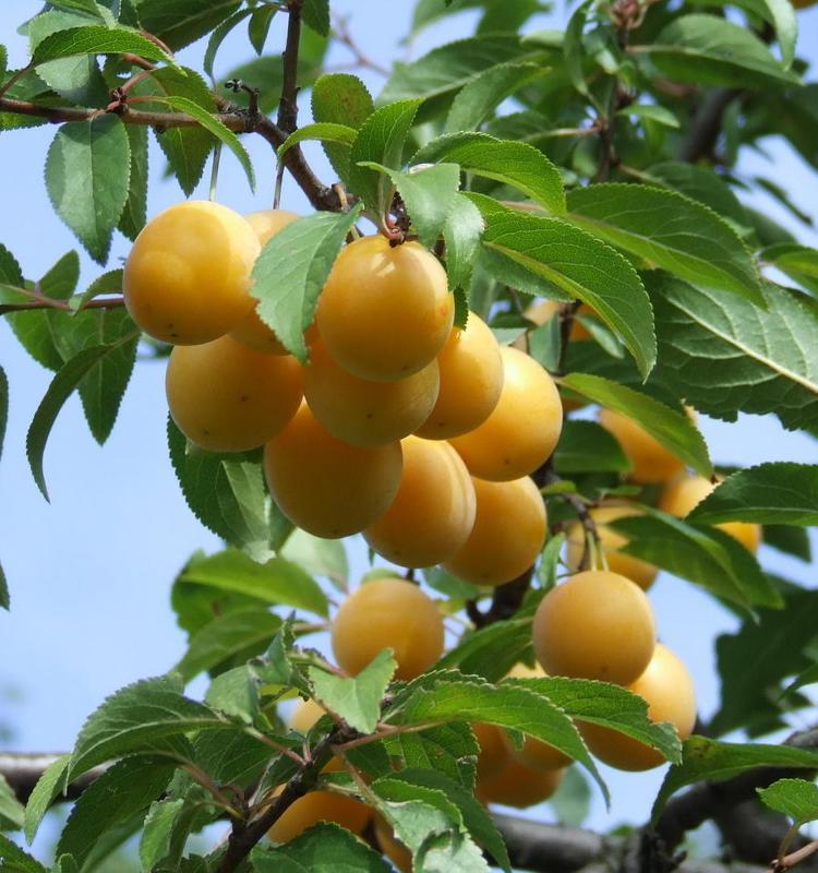 Alberi da Frutto - Alberature Frutta