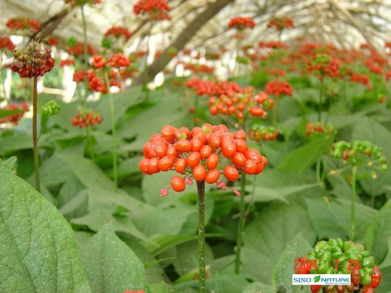 Ginseng root - Red tails