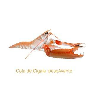 Cigala Gallega pescavante - Comprar Cigalas Gallegas pescAvante marisco Gallego