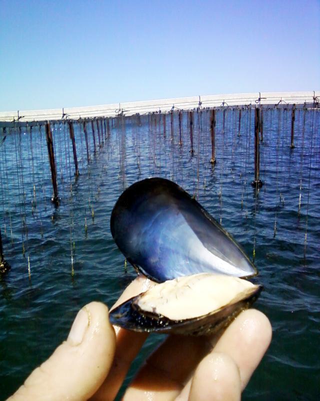 MOULES DE L'ETANG DE THAU - Produits de la mer