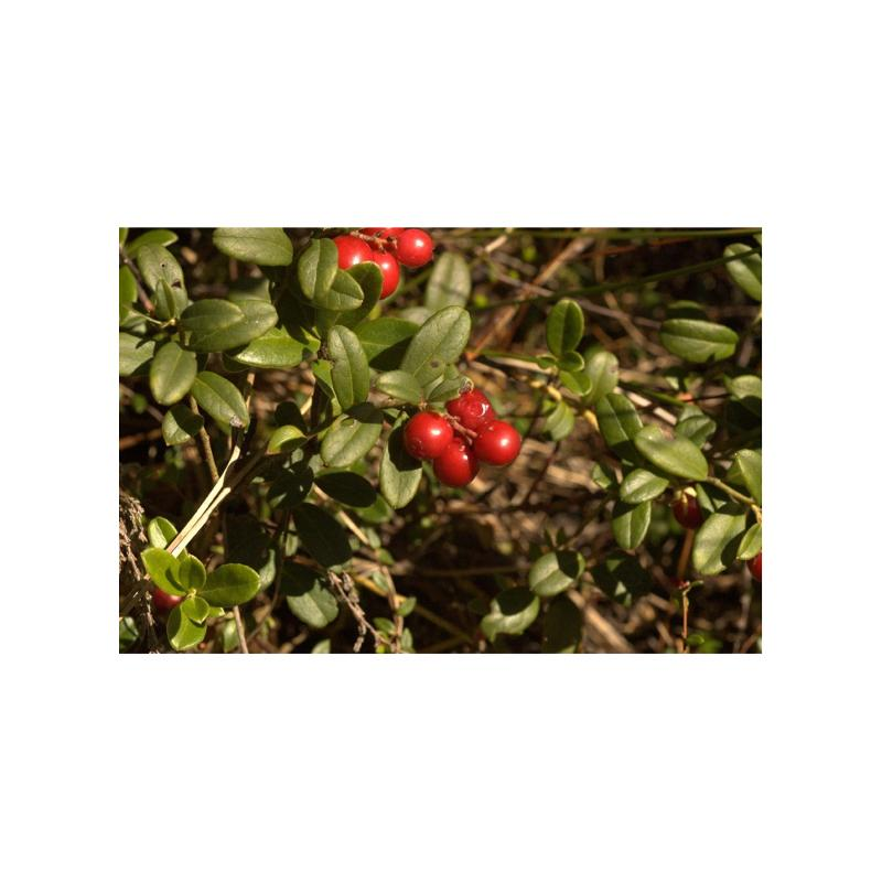Airelle rouge Vaccinium vitis-idaea - Gemmothérapie