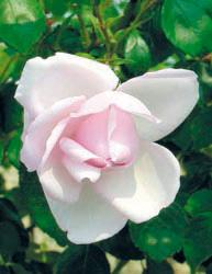 Rosai rampicanti a fiore piccolo - Rosa Pendula