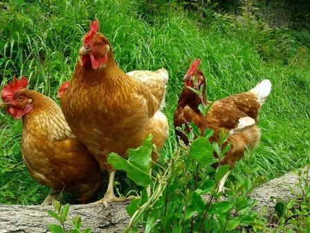 Allevamento polli e galline biologiche e non capannoni