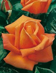Rosai a grandi fiori - Arancio Chiaro