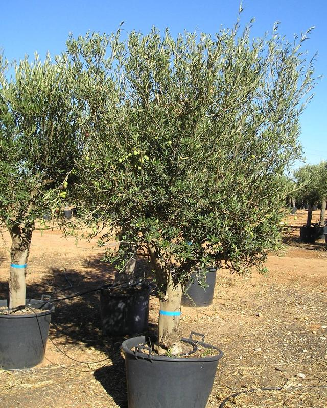 Olivo semiejemplar - null