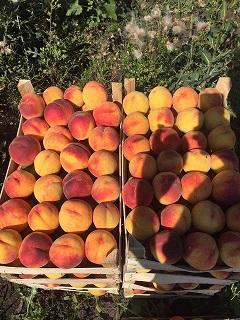 Персик - Персик и Слива из Молдавии