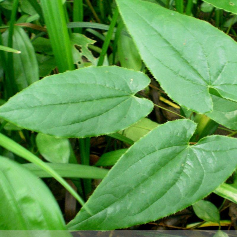 Epimedium Extract - Plant Extracts