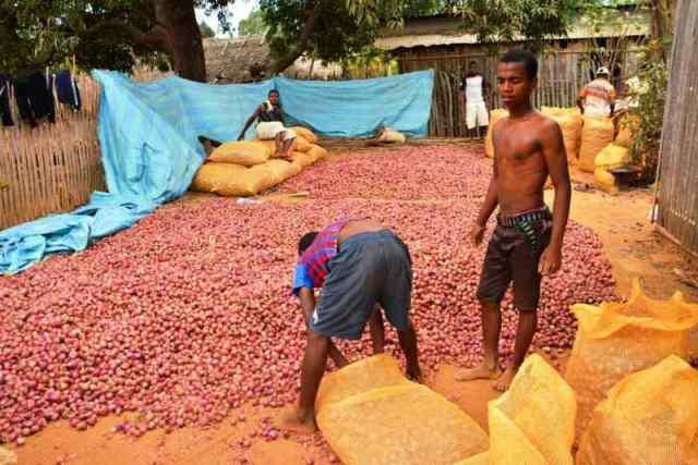 oignons frais de Madagascar