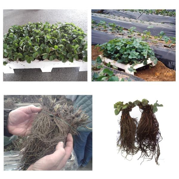 Sadike jagodičja / Berry seedlings -
