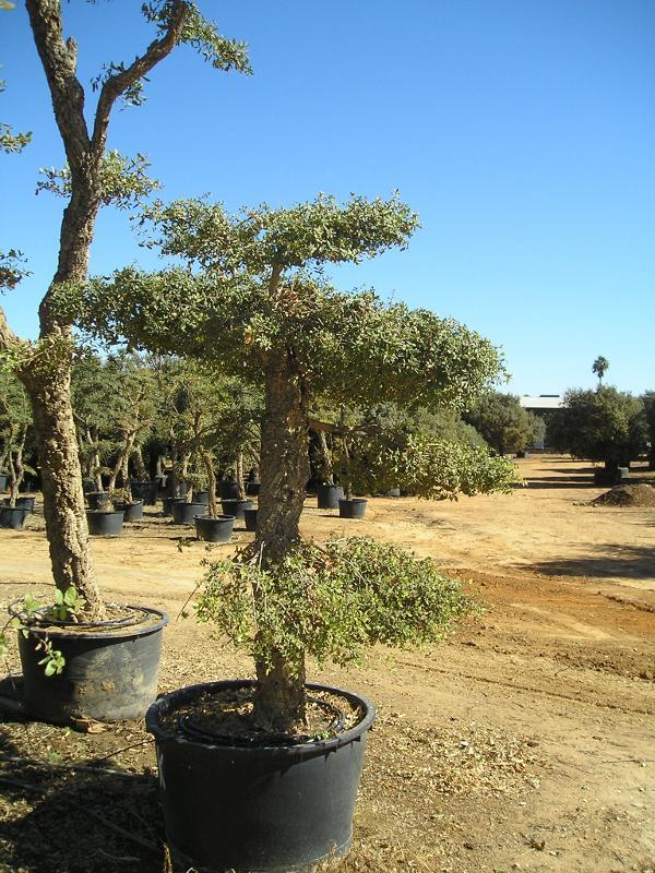 Quercus suber pom pom - null
