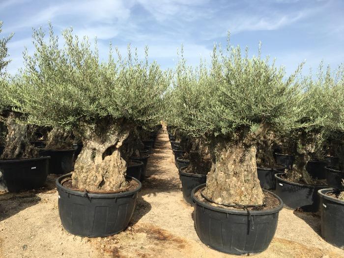 Olive Tree - 100/140 cm in 285L pot