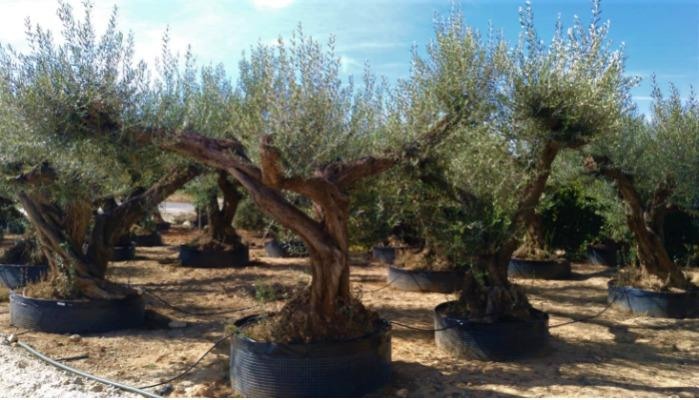 Olive Trees for Landscaping - Several sizes