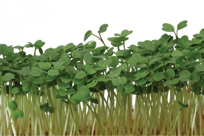 Rucola Cress - Micro végétaux