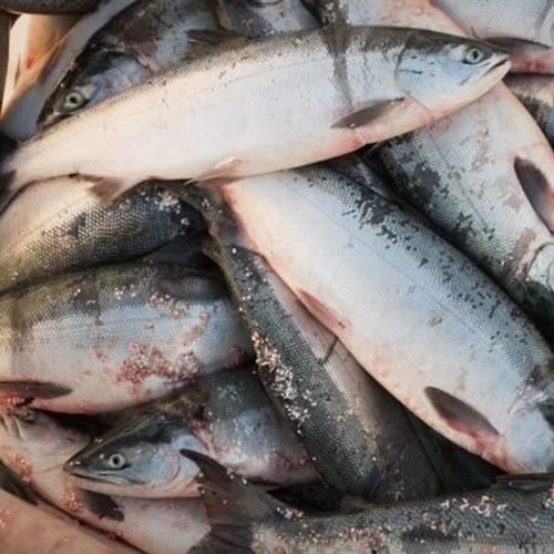Frozen Salmon - Fish Products