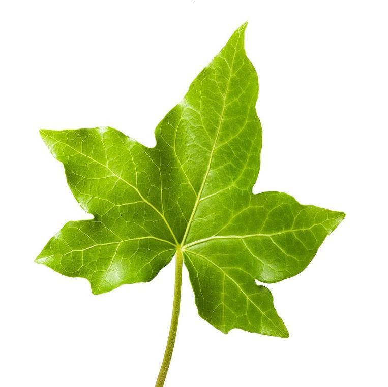 Ivy Leaf Extract, Ivy, ANKLAM EXTRAKT GMBH, Germany