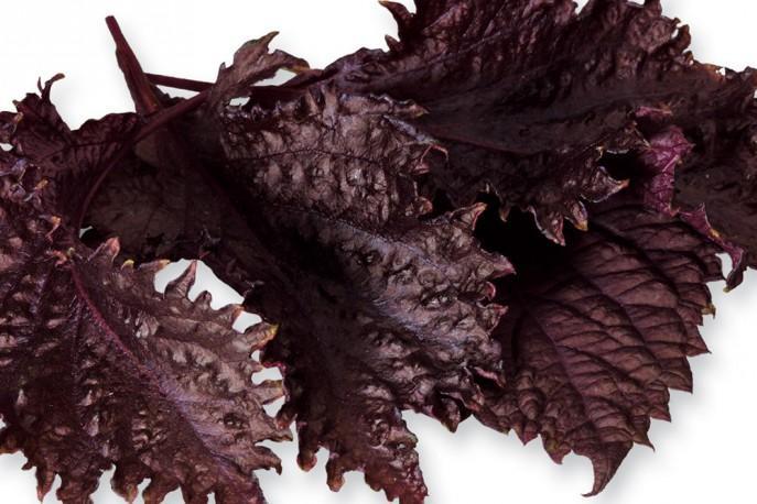 Shiso Leaves Purple - Micro végétaux