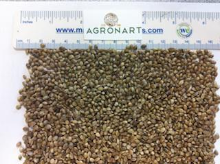 HEMP SEEDS GRAIN
