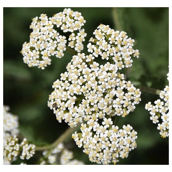 Eau florale d'Achillée millefeuille biologique - Eaux florales
