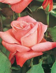 Rosai a grandi fiori - Rosa Carico