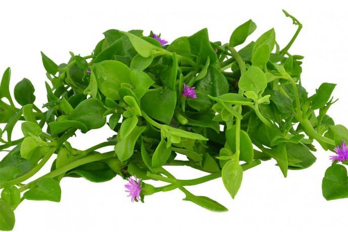 Cordifole - Légumes - jeunes pousses