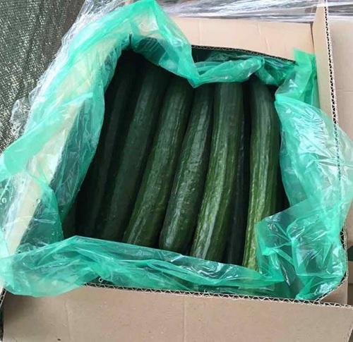 Cucumber - Fresh Cucumber from Macedonia