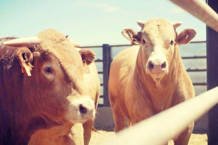 Limousin and Charolais First Quality -