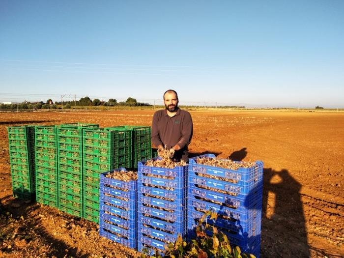 BULBO DE AZAFRÁN. CROCUS SATIVUS. - Bulbo ecológico procedente de La Mancha. España.